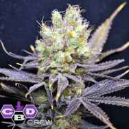 CBD Crew Seeds Nordle