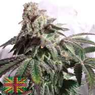 Connoisseur Genetics Seeds North London Church Cookies