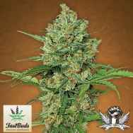 FastBuds Seeds Northern Express AUTO