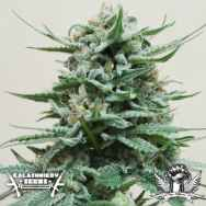 Kalashnikov Seeds Northern Russian AUTO