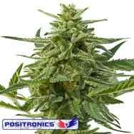 Positronics Seeds Nothern Haze Express