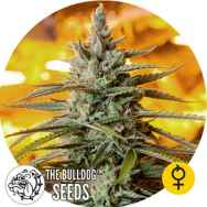 The Bulldog Seeds Northern Light Auto