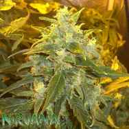 Nirvana Seeds Northern Light