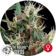 The Bulldog Seeds Northern Light
