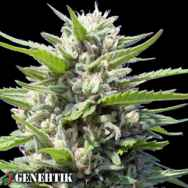 Genehtik Seeds Northern Lights AUTO