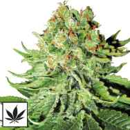 White Label Seeds Northern Lights Automatic