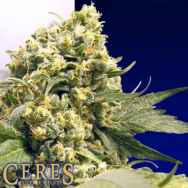 Ceres Seeds Northern Lights x Skunk #1