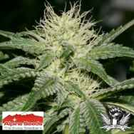 Alpine Seeds OG Kush Lemon Larry
