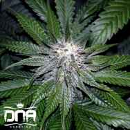DNA Genetics Seeds OG LA Affie