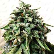 Holy Smoke Seeds OG Strawberry Star Killer