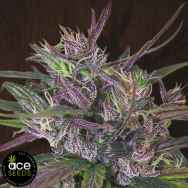 ACE Seeds Oldtimers Haze