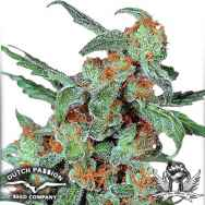 Dutch Passion Seeds Orange Bud