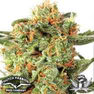 Dutch Passion Seeds Orange Hill Special