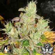 Lady Sativa Genetics Seeds Orange Diesel