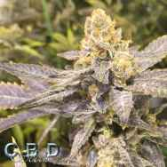 CBD Seeds Orange Big Bud