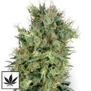 White Label Seeds California Orange Bud