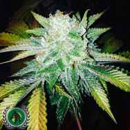 DarkHorse Genetics Seeds Orange Cream