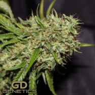 Green Devil Seeds Orange Haze