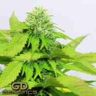 Green Devil Seeds Orange Kush