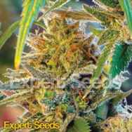 Expert Seeds California Orange aka Orange Skunk