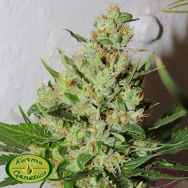 Karma Genetics Seeds Orange Sorbet