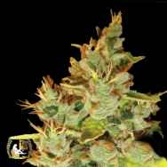 Lady Sativa Genetics Seeds OrangeNesia