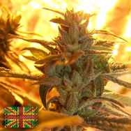 Connoisseur Genetics Seeds Original Diesel Haze