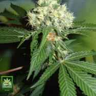 Homegrown Fantaseeds Original Misty
