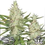 Dutch Passion Seeds Outlaw