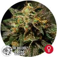 The Bulldog Seeds O.Z. Kush