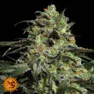 Barneys Farm Seeds Peyote Cookies