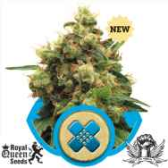 Royal Queen Seeds Painkiller XL CBD