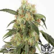 Dutch Passion Seeds Pamir Gold