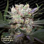 Paradise Seeds Californian Gold