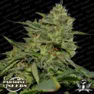 Paradise Seeds Original Cheese (IBL)