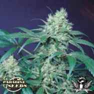 Paradise Seeds Amsterdam Flame