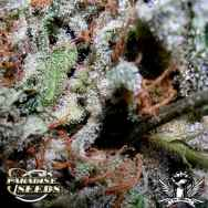 Paradise Seeds Indica Champion Mix