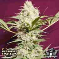 Paradise Seeds Sativa Spirit