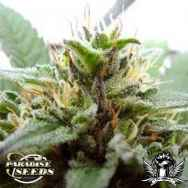 Paradise Seeds Sugar Babe