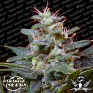 Paradise Seeds Sweet Purple