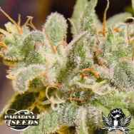 Paradise Seeds Swiss Bliss
