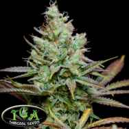 TGA Subcool Seeds Pennywise