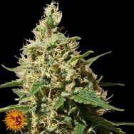 Barneys Farm Seeds Peppermint Kush