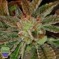 GrandDaddy Purple Seeds Phantom Kush