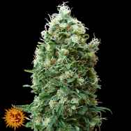 Barneys Farm Seeds Phatt Fruity