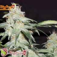 Dr. Krippling Seeds Pickled Diesel AUTO
