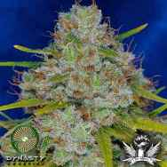 Dynasty Genetics Seeds Pineapple Fields