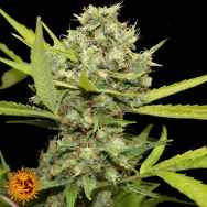 Barneys Farm Seeds Pineapple Chunk