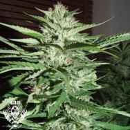 G13 Labs Seeds Pineapple Express