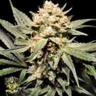 Reeferman Seeds Pink Kush